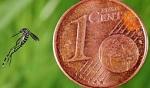 moustique tigre 1