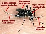 moustique tigre 2